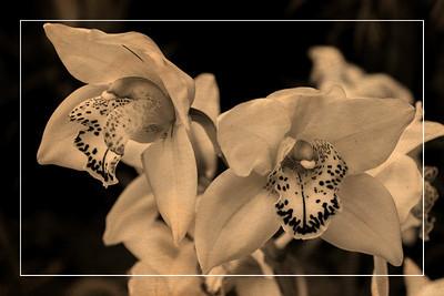 Orchid 1 - Vintage Postcard