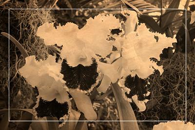 Orchid 3 - Vintage Postcard