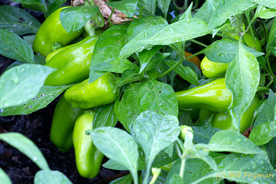 Hot Pepper I