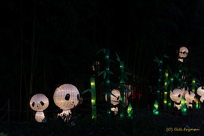 Panda's Paradise -- With about 99% of the wild panda's diet consisting of bamboo, it is fitting that the panda lanterns have found a home in the Botanical Garden's bamboo.