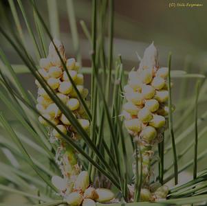 Evergreens-I