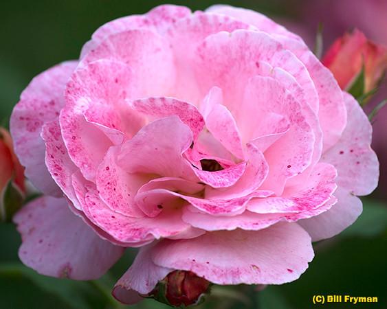 Missouri Botanical Garden 2012-05-12