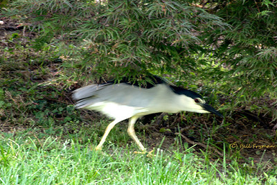 Black-crowned night heron - It appeared to be stalking something as it moved under the bushes
