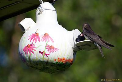 Purple martin feeding young bird