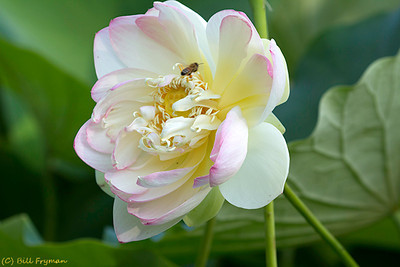 Another lotus blossom and bee.  Again, if you look closely you can see pollen on the bee's legs.