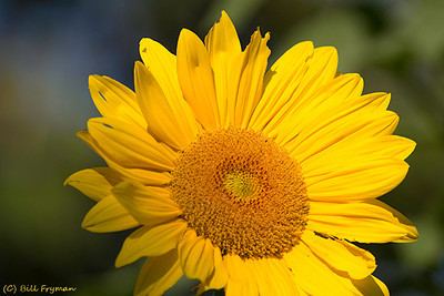 Sunflower in the Bird Garden