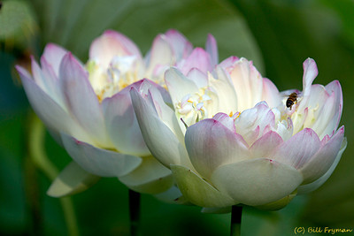 Lotus blossoms with bee