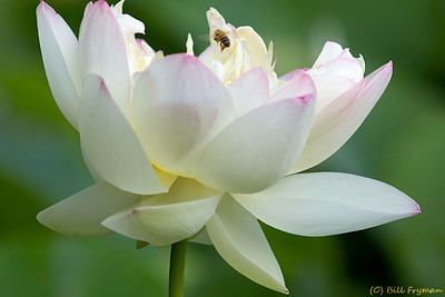 Lotus blossom with bee