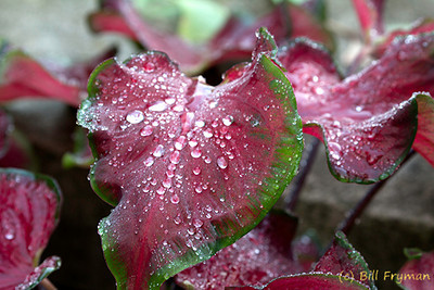 Red and green foliage with water droplets.