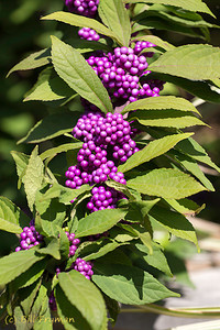 Some bright purple berries or seeds near the Chinese Garden area.