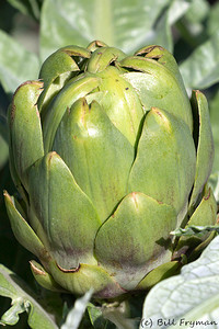 One of the remaining artichokes in the Kemper Garden area.