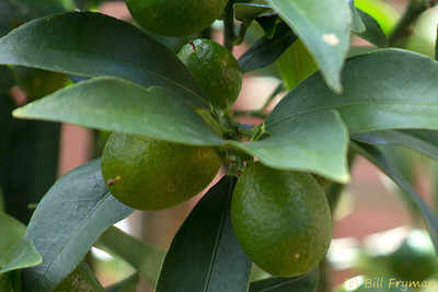 Kumquats in the Linnean House which allows the Garden to maintain tropical and semi-tropical plants year round.