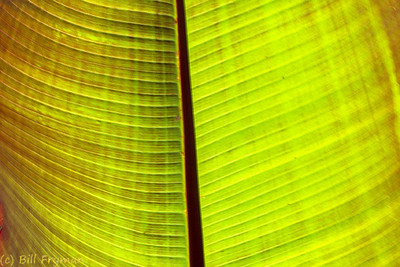These large leaves near the entrance to the Garden proper offer some interesting patterns and colors when backlit.  They are so large that photographing them presents a challenge even in very light winds.