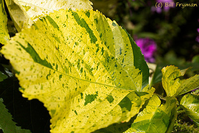 With its green and yellow coloring, this leaf could almost be called a John Deere leaf :-).