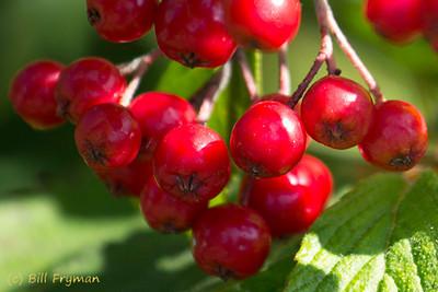 Bright red berries near the Bird Garden.