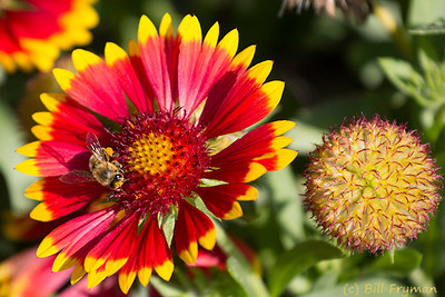 Another bee on a bright red and yellow flower.  Notice the pollen on the bee's back legs.
