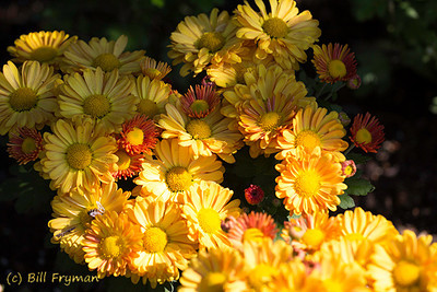 A cluster of bright yellow flowers.  Here, too, is a bee gathering pollen although he is almost hidden behind another flower.