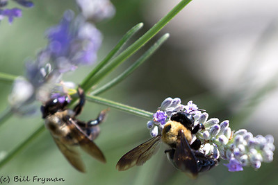 Busy bees on tiny flowers