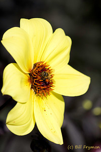 Another bee taking advantage of the fall flowers.