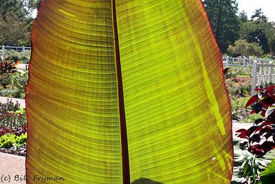 Patterns in a large backlit leaf