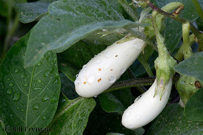 Young eggplant