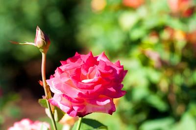 Rose Garden 02