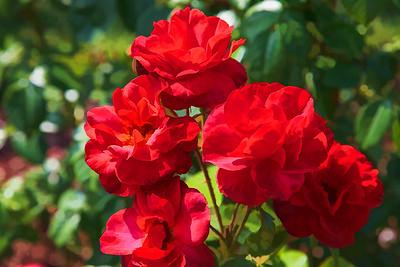 Rose Garden 01