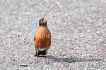 6/27/2017 - An American robin hops along the parking lot at Lake Whetstone, �2017 Jacqui South Photography