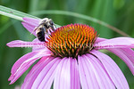 6/27/2017 - One lone bee on a cone flower near Lake Whetstone, �2017 Jacqui South Photography