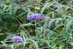 6/27/2017 - No butterflies anywhere near this butterfly bush near Lake Whetstone, �2017 Jacqui South Photography