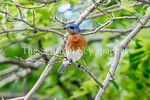 6/27/2017 - An eastern bluebird at Lake Whetstone, �2017 Jacqui South Photography
