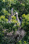 6/27/2017 - Baby great blue herons at feeding time in a nest overlooking Lake Whetstone, �2017 Jacqui South Photography