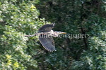 6/27/2017 - A great blue heron flies over Lake Whetstone in Montgomery Village, MD, �2017 Jacqui South Photography