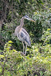 6/27/2017 - A great blue heron perches over Lake Whetstone in Montgomery Village, MD, �2017 Jacqui South Photography