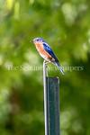 6/27/2017 - An eastern bluebird near Lake Whetstone, �2017 Jacqui South Photography