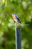 6/27/2017 - An eastern bluebird near Lake Whetstone, ©2017 Jacqui South Photography