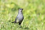 6/27/2017 - A gray catbird next to Lake Whetstone, �2017 Jacqui South Photography
