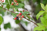 6/27/2017 - Wild berries growing around Lake Whetstone in Montgomery Village, MD, �2017 Jacqui South Photography