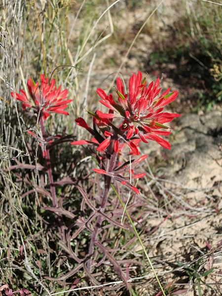 Paintbrush at Cactus Rat mine