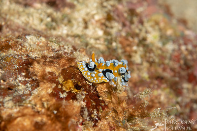 Ocellated Phyllidia Nudibranch