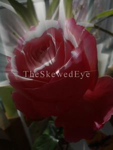 Ira's Rose