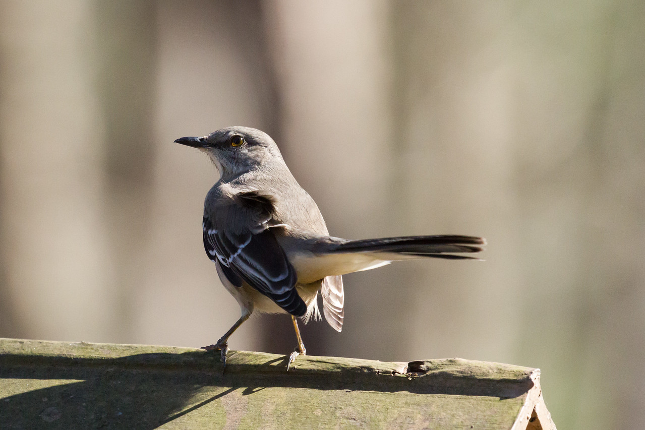 Mockingbird Close Up