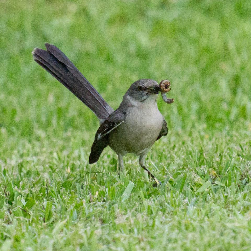 Mockingbird with Worm 1
