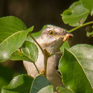Mockingbird in Leaves