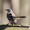 Mockingbird Pose Looking Back