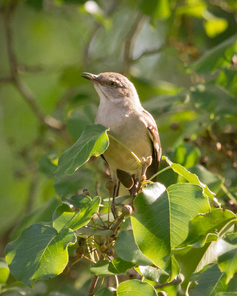 Mockingbird Song