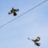 Mating Season in Mockingbird World