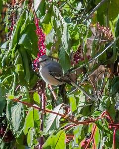 Mockingbird in Indiana in Fall