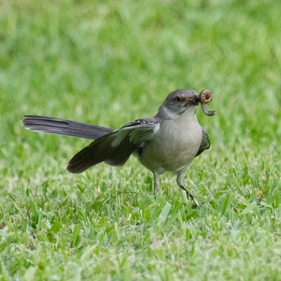 Mockingbird with Worm 2
