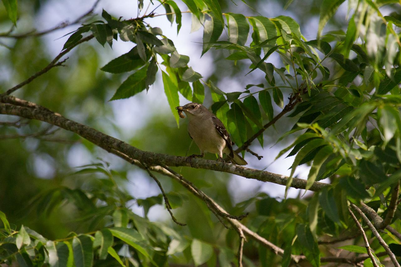 Mockingbird with Worm